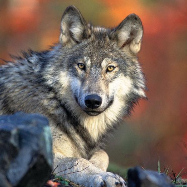 Gray Wolves: Predator or Victim ?
