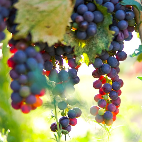 Colorado Grapes and Paul's Winemaking Style.