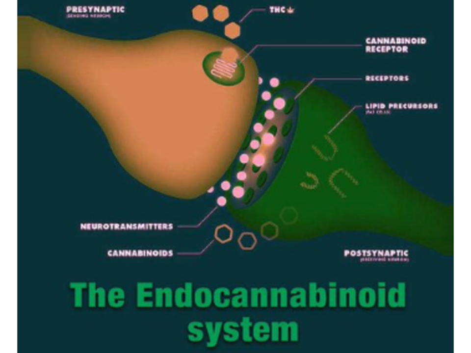 Dr. Mary Clifton - Cannabinoids and Immunity Research