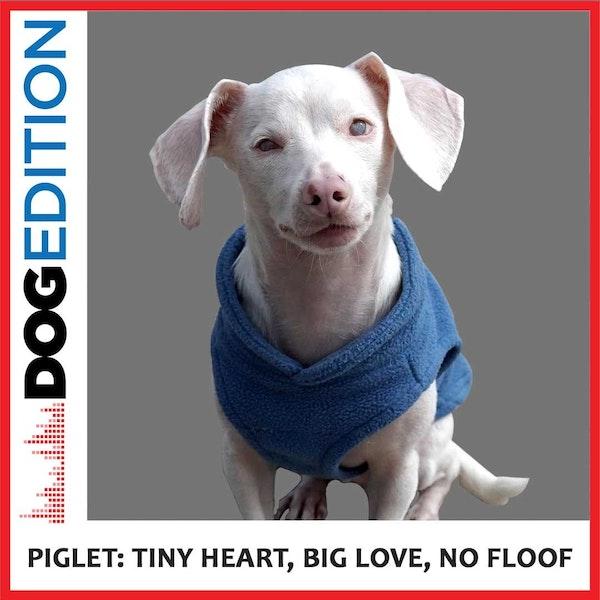 Piglet: Tiny Heart, Big Love, No Floof   Dog Edition #2