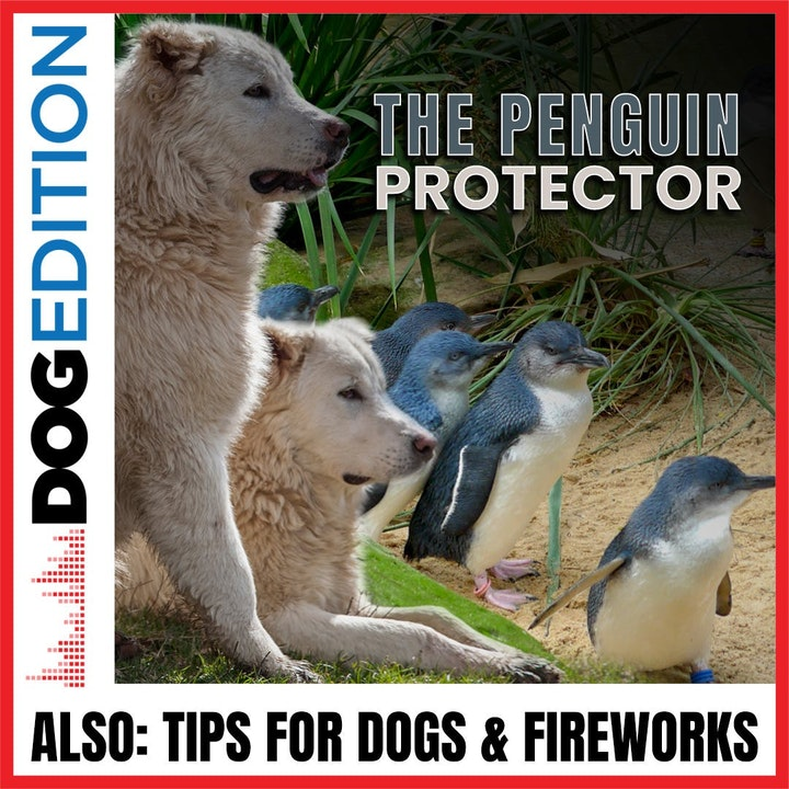The Penguin Protectors | Tips for Dogs & Fireworks | Dog Edition #24