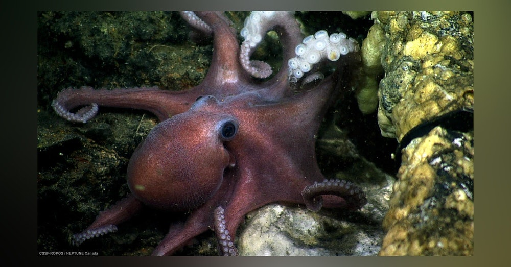 MSL Mini: Octopus Bully