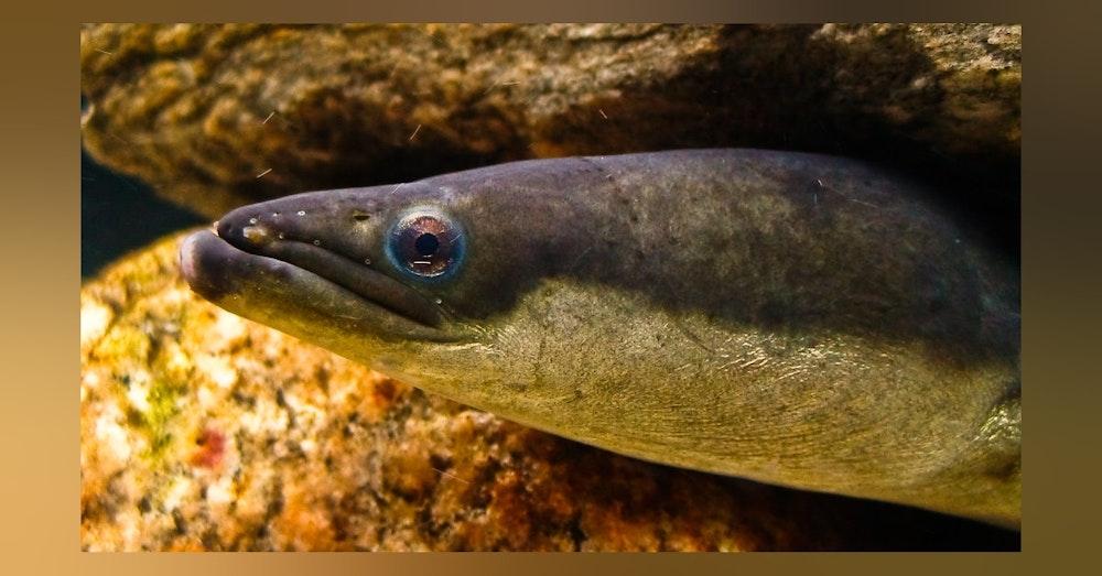 MSL Mini: The Majestic American Eel