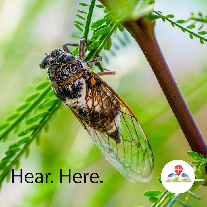 099981 Cicadas