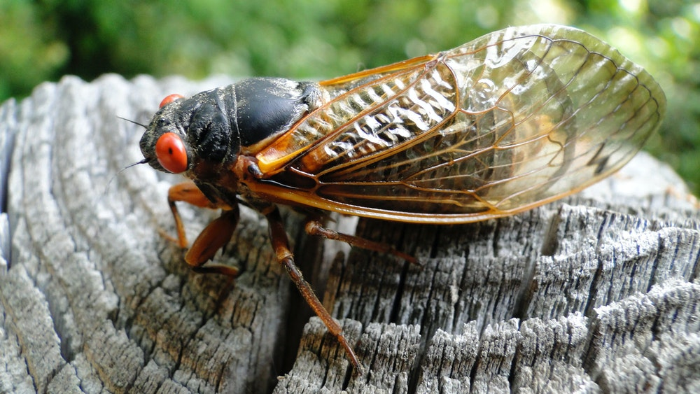 The Sounds, Tastes And Biology Of Cicadas