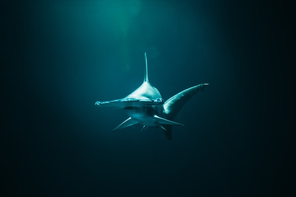 Survival of the Strangest: Mikki McComb-Kobza On Her Passion For The Undersea World of Hammerheads
