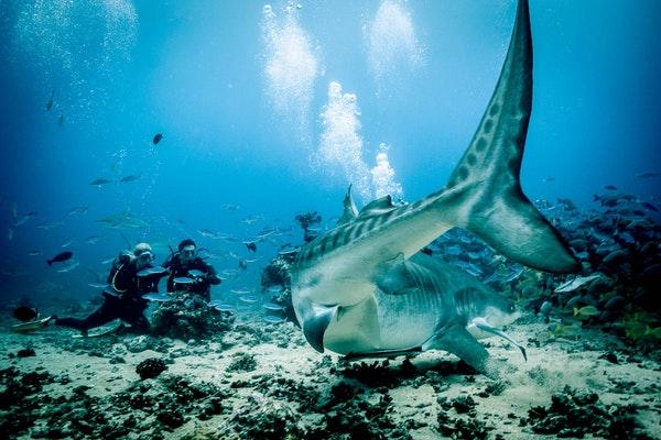 Living with Sharks: Colleen McKinnel on the intensity and magic of a tiger shark dive in Fiji