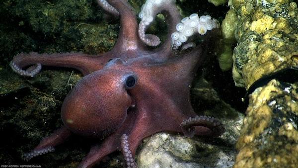 MSL Mini: Octopus Bully Image