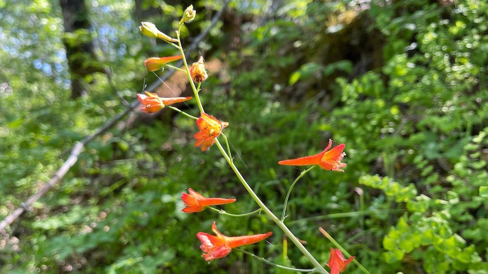 canyon larkspur