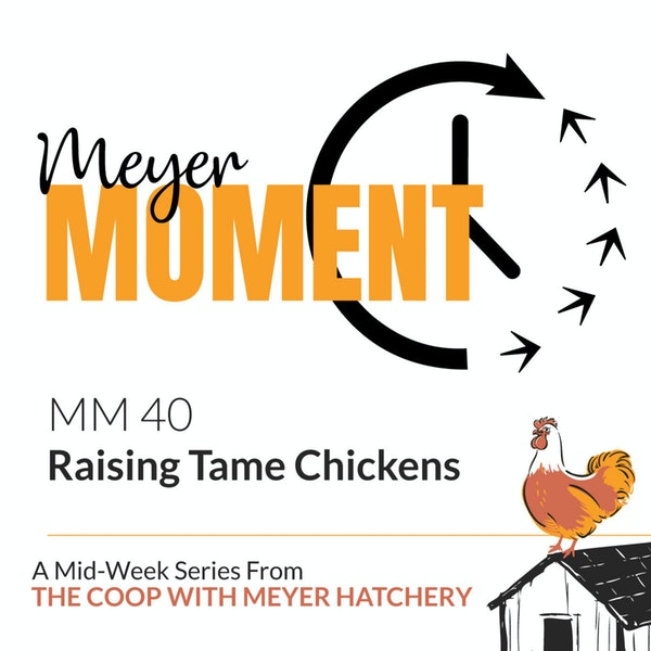 Meyer Moment: Raising Tame Chickens Image