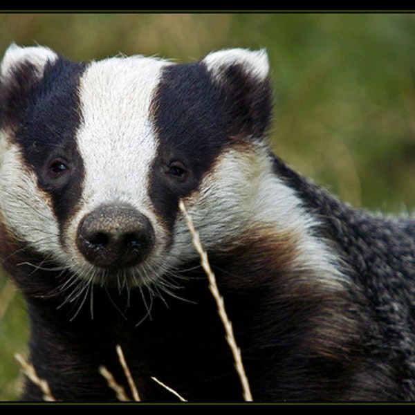 Booty calls, bed-hopping, and birdsong - it's the badger show! Image