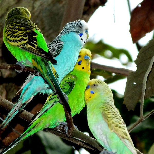 Budgie Business Image