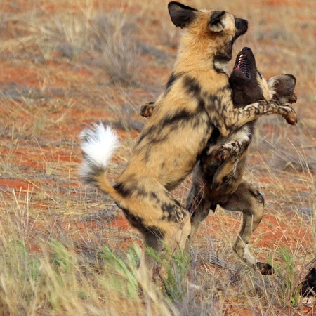 African Wild Dogs: a love story Image