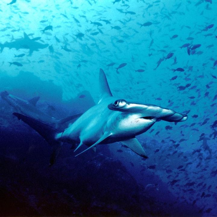 Seduced by Sharks