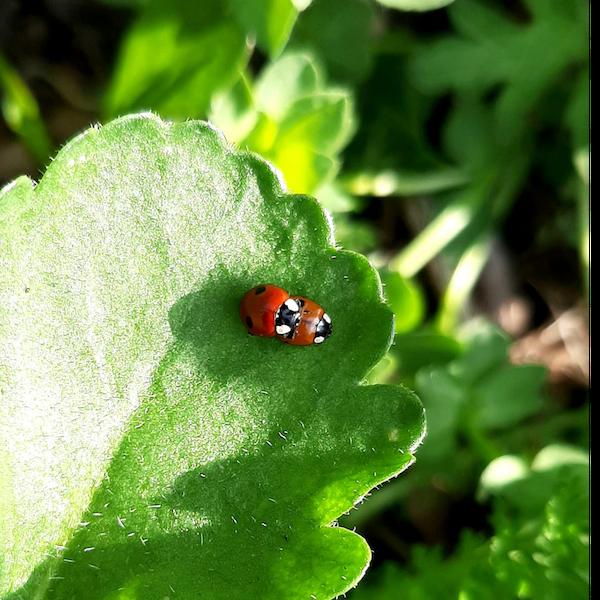 Saucy, sex-crazed space beetles: it's the ladybird show! Image