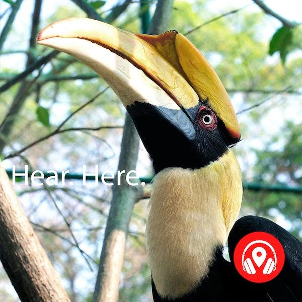 628925 Trumpeter Hornbill